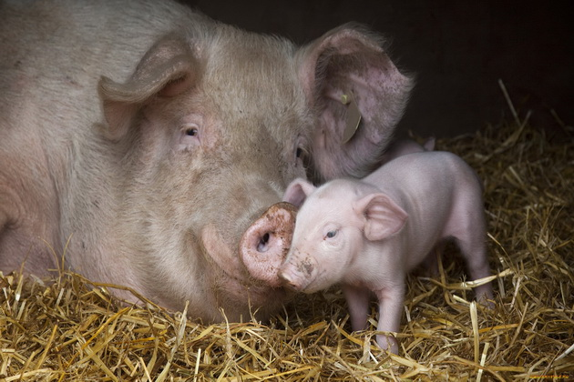 Сім'я свиней
